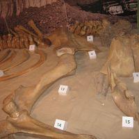 Szkielet-Słonia-Leśnego