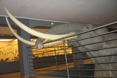 Makieta-Słonia-Leśnego-w-skali-1-do1